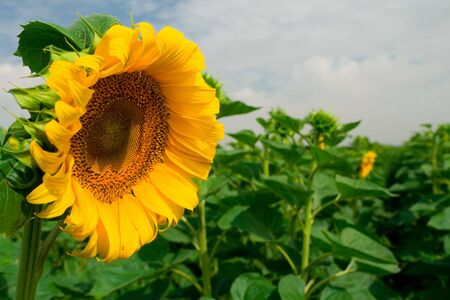 Sunflower in blossom close-up Stock Photo - 3341503