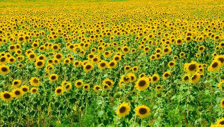 Sunflower field in blossom Stock Photo - 3341530