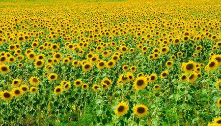 Sunflower field in blossom Stock Photo - 3341530
