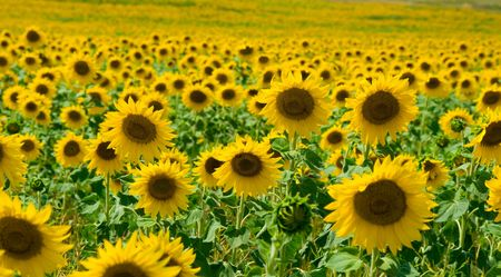 Sunflower field with several flowers closeup Stock Photo - 3341507
