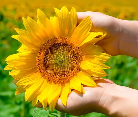 Yellow sunflower in blossom,  in female hands  photo