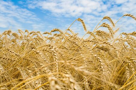 Golden wheat spikes with blue sky over them Stock Photo - 3341517