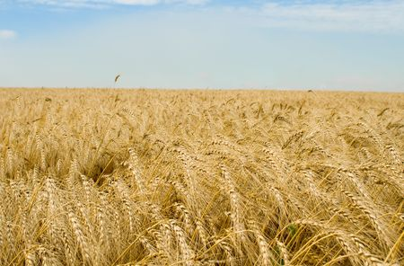 Golden wheat field Stock Photo - 3341512