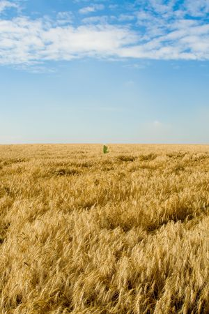 Golden wheat field and green path in the distance Stock Photo - 3341526
