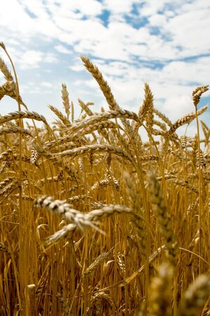 Golden wheat spikes over blue sky Stock Photo - 3341508