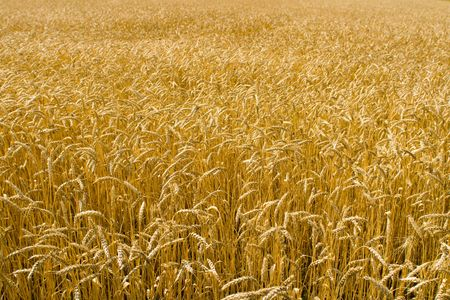 Ripe yellow wheat field Stock Photo - 3341531