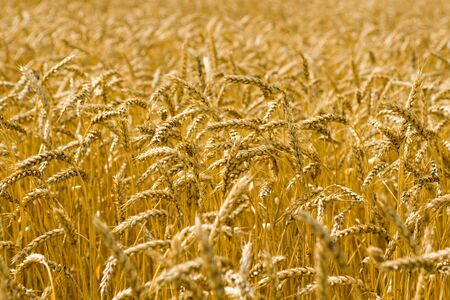 Ripe golden wheat spikes swaying in the breeze photo