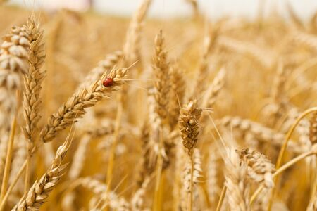 Wheat field with a ladybird on a stem Stock Photo - 4203701