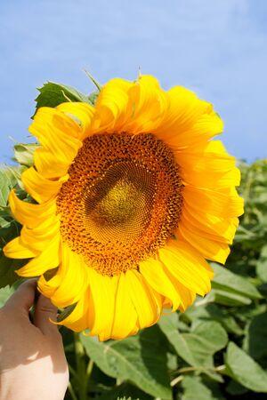 Sunflower held by female hand Stock Photo - 4203703