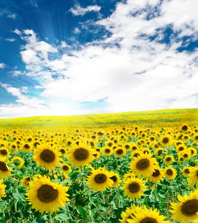 Sunflower field against blue cloudy sky photo