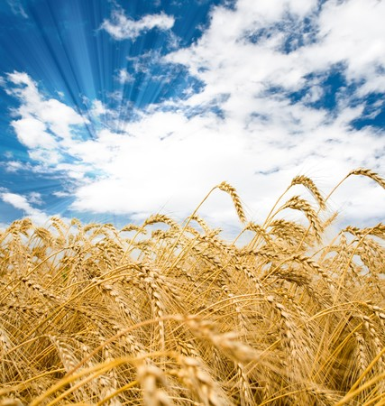 Golden wheat spikes with blue sky over them Stock Photo - 4272307