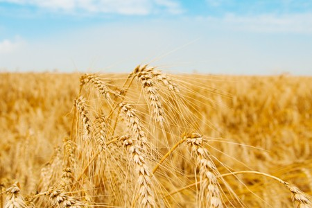 Golden wheat field and several spikes shot closeup Stock Photo - 4397594