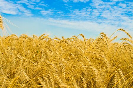 Golden wheat field and blue sky over it Stock Photo - 4397596
