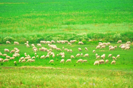 Sheep eating grass on the meadow photo