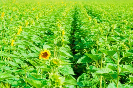 Green sunflowers field with heads turned around Stock Photo - 4454116