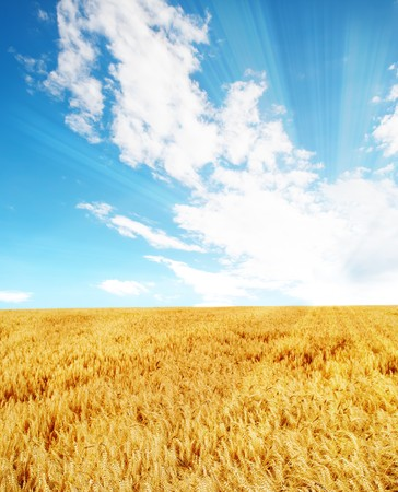 Wheat field in summer under sunny sky Stock Photo - 4454120