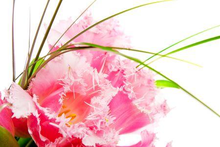 sheen: Pink tulips, isolated, shot closeup Stock Photo
