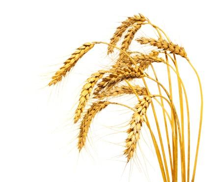 espiga de trigo: Tallos de trigo, aislado más de blanco Foto de archivo