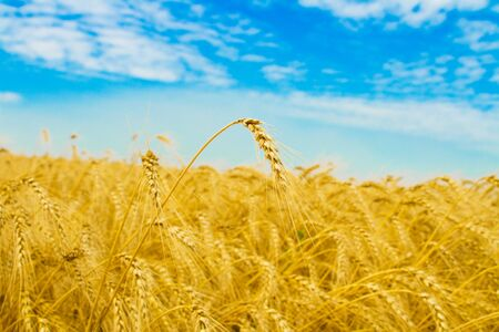 Wheat field, solitary wheat ear in focus Stock Photo - 4550426