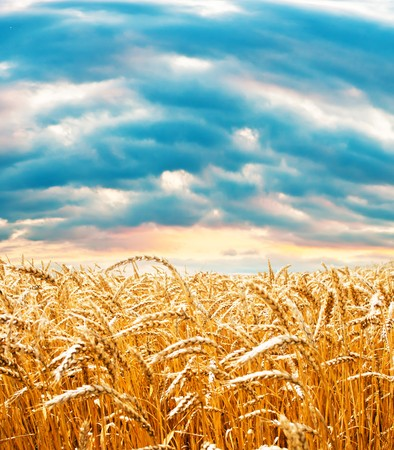 Ripe wheat field under cloudy sky photo