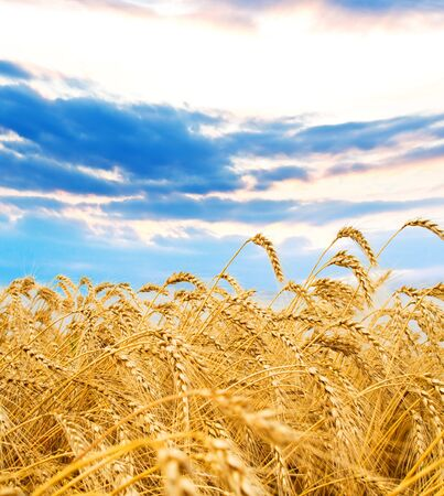 Golden wheat spikes with blue sky over them Stock Photo - 4550447