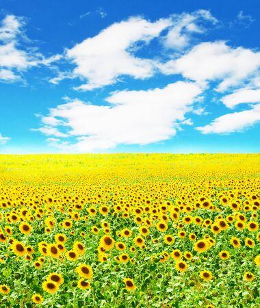 Sunny sunflower field Stock Photo - 4550448