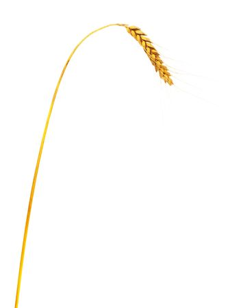 corn stalk: Single wheat ear, isolated