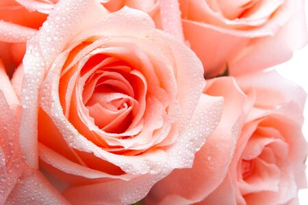 Closeup shot of pink rose bloom Stock Photo - 4691078