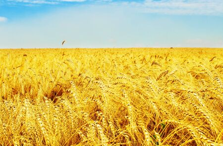 Golden wheat field under blue sky Stock Photo - 5712867
