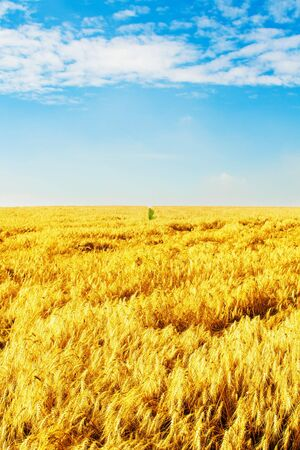 Ripe wheat field under blue sky Stock Photo - 5712868