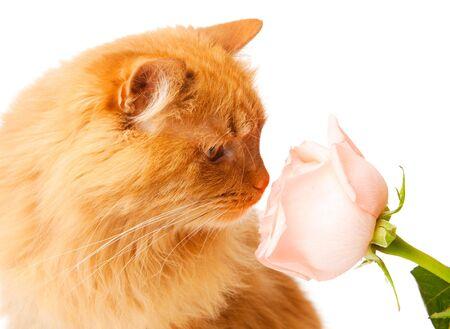 animalitos tiernos: Gato rojo oliendo una rosa