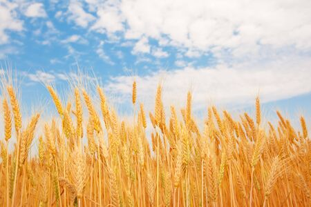 Golden wheat ears under the blue sky Stock Photo - 5116741