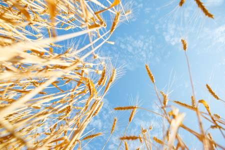 barley head: Wheat ears against blue sky