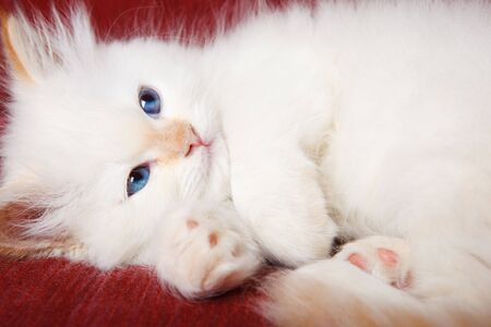 A cute white purring kitten, shot closeup photo