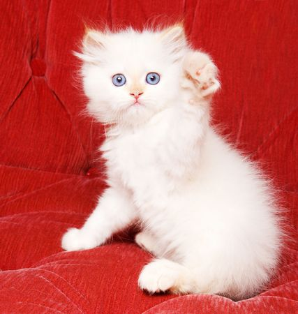 A pretty white kitten waving hello with its paw