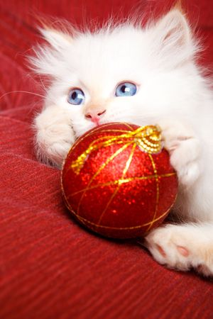 Portrait of a white baby cat with Christmas decoration in paws photo