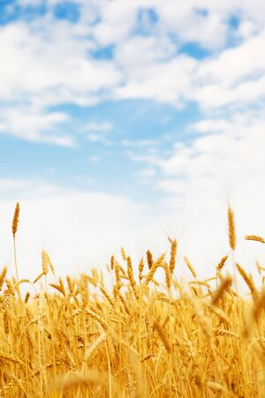 Wheat field under blue sky photo