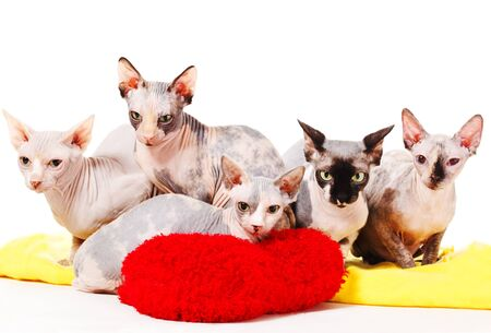 A group of cute sphinx cats photo