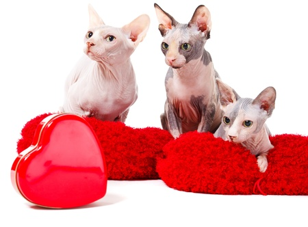 Sphinx cats lying on red pillows with heart-shaped box in front photo