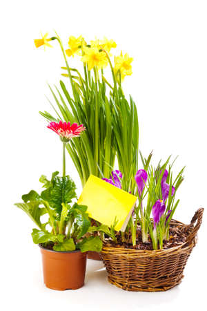 Spring flowering plants with a blank greeting card, isolated photo