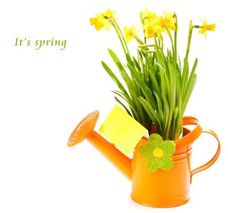 Primavera de flores amarillas en la regadera naranja, con una tarjeta de felicitación en blanco Foto de archivo