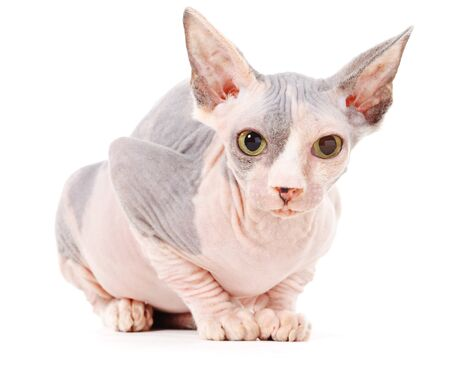 Sphynx cat, isolated, over white background photo