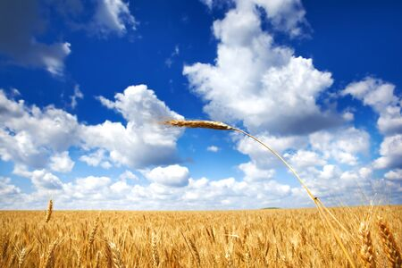 Wheat field under blue sky photo