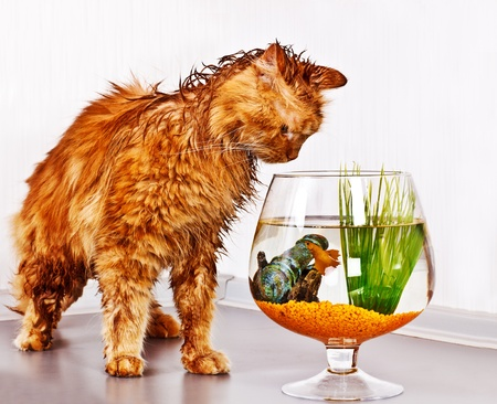 Soaked red cat looking at fish in bowl Stock Photo