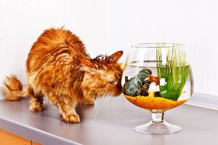 Soaked red cat looking at fish in bowl photo