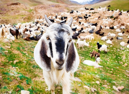 Goat in the summer valley photo