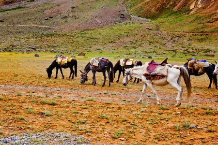 Packhorses herd in the mountains area Stock Photo