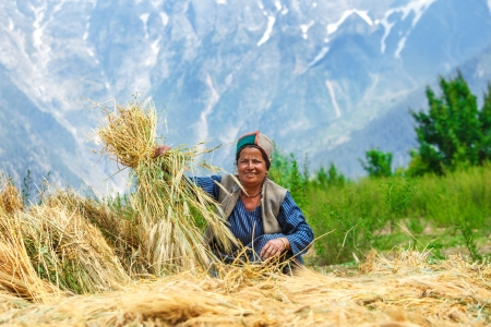 agriculture india: Woman in Indian Himalaya mountains drying wheat Stock Photo