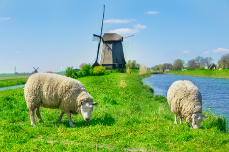 flock of sheep: Sheep grazing near a dyke in the Netherlands