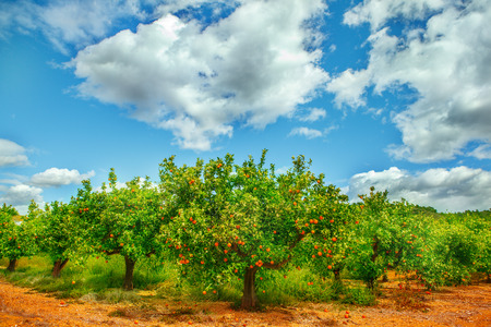 Organic orange garden in spring
